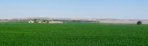 Culture de mais là où s'est irrigable