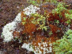 Île de Quarry Tourbière (lichen et mousse)