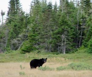 L'ours aime les myrtilles