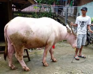 Un buffle albinos vaut autant qu'une voiture neuve
